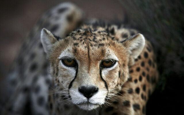 An Asiatic Cheetah, named 'Koushki,' crouches at the Miandasht Wildlife Refuge in Jajarm, northeastern Iran, May 25, 2014. (Vahid Salemi/AP)