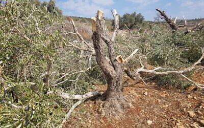 A tree in the Palestinian village of Burin, in the northern West Bank, that was badly damaged in an alleged settler hate crime. (courtesy Yesh Din)