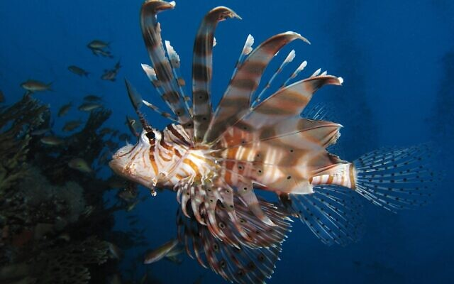A lionfish seen at Shaab Angosh reef in the Red Sea. Alexander Vasenin/Wikipedia/CC BY-SA 3.0)