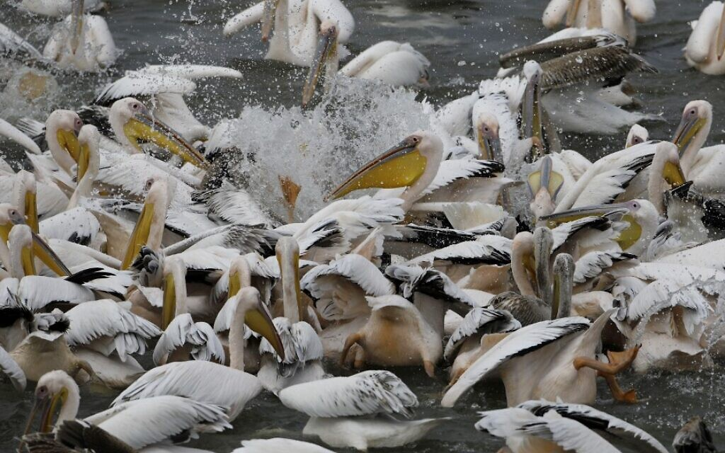 Desperate Israeli fish farmers give peckish pelicans a free lunch