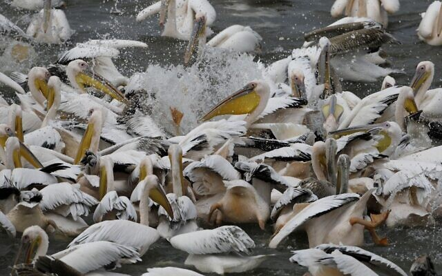 Great white pelicans eat fish provided by Israeli farmers in a water reservoir in the Emek Hefer valley north of Tel Aviv on November 15, 2019 (MENAHEM KAHANA / AFP)