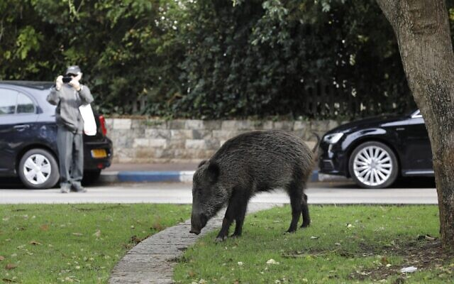 Wild boars gather in a residential area in the northern city of Haifa on December 5, 2019 ( MENAHEM KAHANA / AFP)