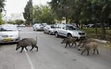Wild boars gather in a residential area in the northern city of Haifa on December 5, 2019 (MENAHEM KAHANA / AFP)
