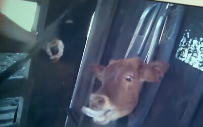 A calf in a headclamp being dehorned without anesthetic at a western Australian cattle farm. (Kan TV screenshot)
