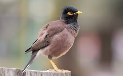 The invasive common myna (Acridotheres tristis). (Ehud Fast)