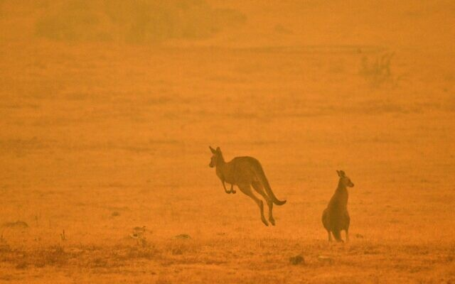 A kangaroo jumps in a field amidst smoke from a bushfire in Snowy Valley on the outskirts of Cooma on January 4, 2020 (SAEED KHAN / AFP)