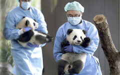 Two zookeepers carry the young panda twins 'Meng Yuan' and 'Meng Xiang' before the animals explore their enclosure at the Berlin Zoo in Berlin, Germany, Wednesday, Jan. 29, 2020. (AP/Michael Sohn)