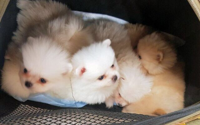 Pomeranian puppies caught in the bag of a woman who is suspected of trying to smuggle them into the country, January 7, 2020. (Israel Police)