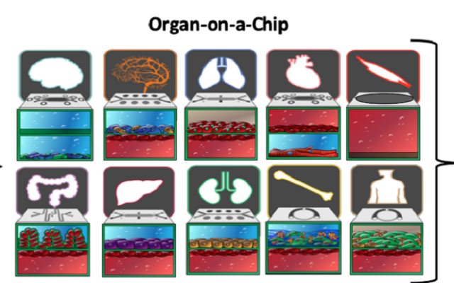 Researchers at Harvard University and Tel Aviv University develop mini human organs on a chip to help with drug development. Nine organs were constructed as 'Organs-on-a-Chip.' (Wyss Institute at Harvard University)