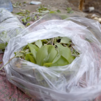 Illustrative: Khat leaves (YouTube screenshot)