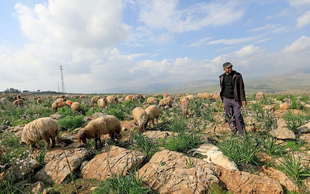 Palestinian shepherd Fawzy Daraghmeh herds his flock of sheep at an area designated as military zone in Um Zuka town, north of the Jordan Valley, on February 19, 2020. (Emmanuel DUNAND/ AFP)