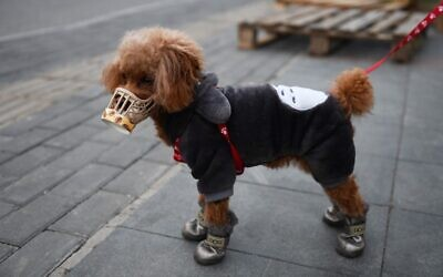 A dog wears a home made cover over its snout, which its owner said was as a preventive measure against the coronavirus, as he stands on a sidewalk in Beijing on February 25, 2020. (Greg Baker/AFP)