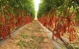 Cherry tomatoes being grown in the Ramat Hanegev Regional Council. (Courtesy)
