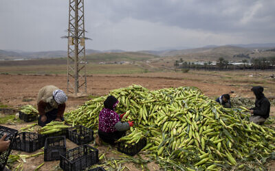Palestinian farmers pack corn at the Jordan Valley, West Bank, Thursday, Jan. 2, 2020. (AP Photo/Oded Balilty)