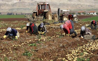 File: Palestinian farmers harvest potatoes in a field in Al Aghwar, near Jericho in the West Bank, Saturday, Jan. 18, 2014. (AP Photo/Nasser Ishtayeh)