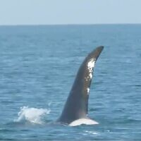Screen capture from video a killer whale spotted off the coast of Israel, February 28, 2020. (Twitter)