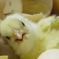 A newly hatched chick. (Animals Now)