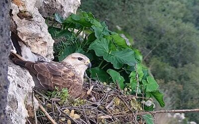 Long-legged buzzard seen via livecam set up by the Israel Nature and Parks Authority and the Society for the Protection of Nature.  (Screenshot)