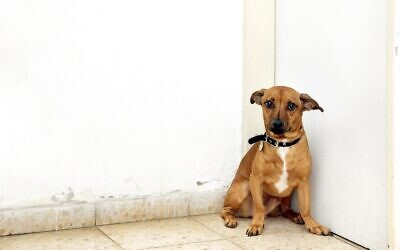 This abandoned dog recently found a new home. (Courtesy, Tel Aviv Society for the Prevention of Cruelty to  Animals).