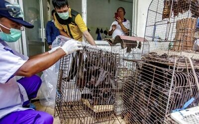 Health officials inspect bats to be confiscated and culled in the wake of coronavirus outbreak at a live animal market in Solo, Central Java, Indonesia, March 14, 2020.  (AP Photo)