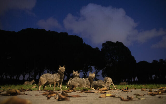 A pack of jackals eats dog food that was left for them by a woman at Hayarkon Park in Tel Aviv on April 11, 2020. (AP Photo/Oded Balilty)