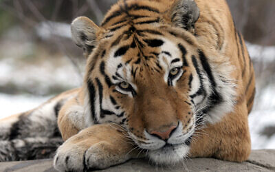 Illustrative: A male Siberian Tiger rests on a heated rock at the Bronx Zoo, Tuesday, Dec. 6, 2005 in New York.  (AP Photo/Mary Schwalm)