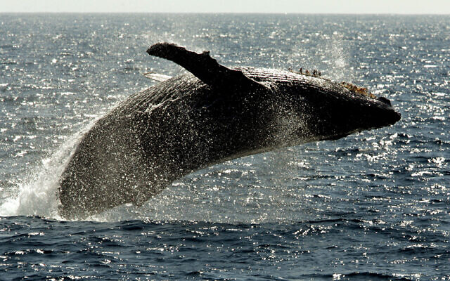 Illustrative: A humpback whale leaps out of the water in the channel off the town of Lahaina on the island of Maui in Hawaii in 2005. (AP Photo/Reed Saxon)