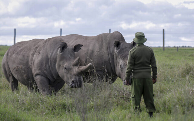 In this May 1, 2020 file photo, a ranger observes the last remaining two northern white rhinos Fatu, left, and Najin, right, at the Ol Pejeta conservancy in Kenya. (AP Photo/Khalil Senosi, File)