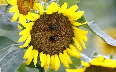 A couple of bumble bees inspect and pollinate a sunflower on a Gaddis Farms field in Bolton, Miss., Friday, July 13, 2018. (AP Photo/Rogelio V. Solis)