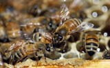Illustrative: Honeybees are shown on a frame at beekeeper Denise Hunsaker's apiary on May 20, 2019, in Salt Lake City. (AP/Rick Bowmer)
