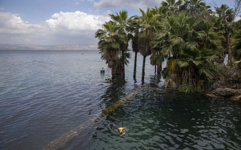 In this April 25, 2020 photo, a dog swims in the water as trees stand where dry land was in the Sea of Galilee, locally known as Lake Kinneret (AP Photo/Ariel Schalit)