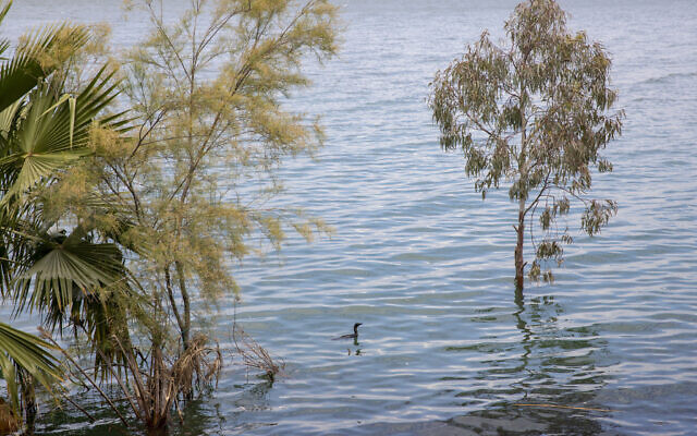 In this April 25, 2020 photo, a bird swims where dry land used to be in the Sea of Galilee, locally known as Lake Kinneret (AP Photo/Ariel Schalit)