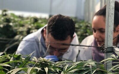 There are at least eight cannabis-growing companies operating in Israel, along with several others involved in production, marketing and distribution. (Eyal Basson/ Health Ministry)