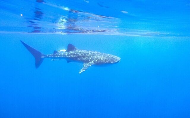 A whale shark spotted off the coast of Eilat on May 3, 2020. (Omri Omasi/Israel Nature and Parks Authority)