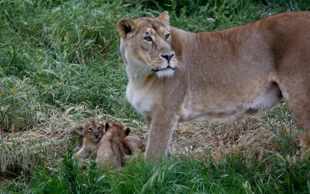 Lioness Yasha and her two new-born cubs at the Jerusalem Biblical zoo (Gili Cohen-Magen)