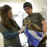 Illustrative -- An injured Imperial Eagle at the veterinary hospital at the safari park in Ramat Gan, March 3, 2013 (Tomer Neuberg/Flash90)