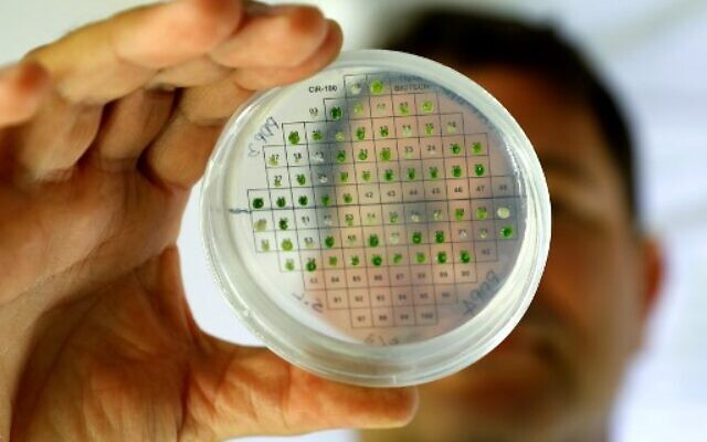 Iftach Yacoby, head of the Tel Aviv University's renewable energy laboratory, examines micro algae samples during research to demonstrate the evolutionary capacities of plants with the sun to produce energy on June 11, 2020. (JACK GUEZ / AFP)