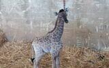 A baby giraffe born in the Jerusalem Biblical Zoo, June 21, 2020. (Jerusalem Biblical Zoo)