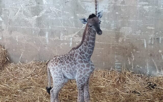 A baby giraffe born in the Jerusalem Biblical Zoo, June 21, 2020. (Jerusalem Biblical Zoo)