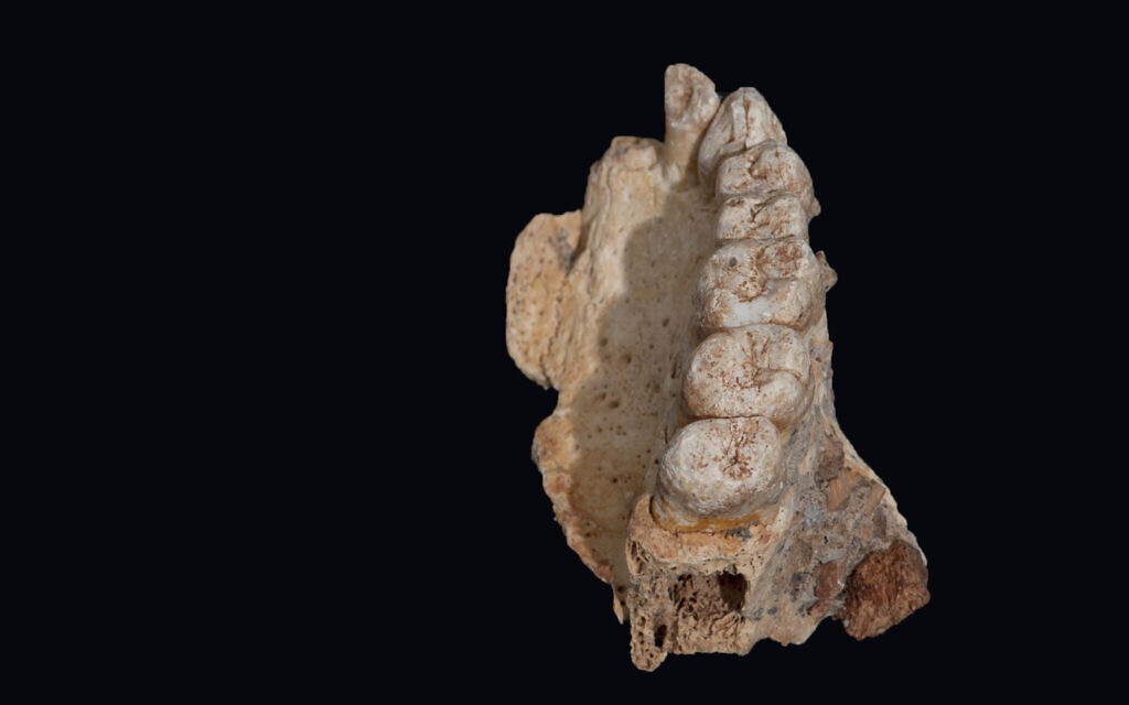 The human jawbone from Misliya Cave. (Israel Hershkowitz, Tel Aviv University)