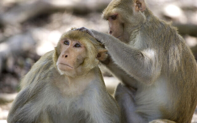 In this July 29, 2008, file photo, a rhesus macaque monkey grooms another on Cayo Santiago, known as Monkey Island, off the eastern coast of Puerto Rico. Since 1938, the 37-acre island has served as a research colony where the monkeys, originally from India, are studied. (AP Photo/Brennan Linsley, File)