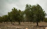 Illustrative: An olive grove (Sebi Berens/Flash90)