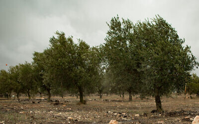 Illustrative: An olive grove (Sebi Berens/Flash90)