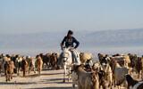A Palestinian shepherd herds his sheep in the Jordan Valley, in the West Bank on January 7, 2020. (Yaniv Nadav/Flash90)
