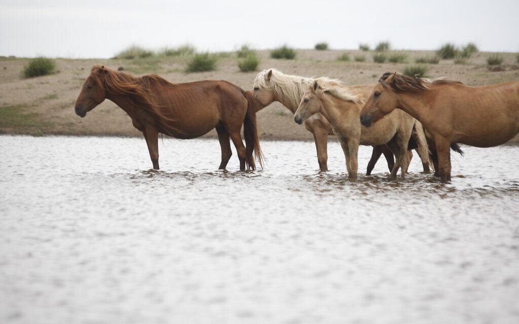 Mongolian horses (courtesy Hebrew University)