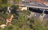A mountain gazelle looks down at a highway in Israel. (Amir Balaban, Society for the Protection of Nature in Israel.)