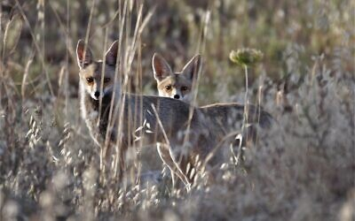 Two foxes peer out of the vegetation in the Jerusalem area, May 27, 2020. (Dudu Ben Or, Israel Nature and Parks Authority)
