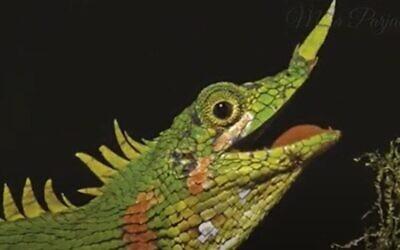 Modigliani's Nose-horned Lizard. (Screenshot/YouTube)