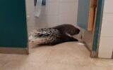 This porcupine wandered into the Knesset's bathroom on June 7, 2020. (Haim Bar)