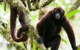 A critically endangered yellow-tailed woolly monkey living in the El Toro forest of the Peruvian Amazon is now protected, thanks to a purchase of land by TIME. (Courtesy TIME)